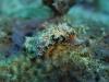 dsc 0344.jpg Nudibranche Glossodoris cincta à  Alice's mound, mer de Bismarck, PNG