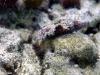 dscx 0567.jpg Nudibranche Glossodoris cincta à Sponge heaven, Milne bay,PNG