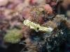 dsc 0775.jpg Nudibranche Glossodoris atromarginata à Crinoïd city, Milne bay, PNG