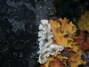 p 3010160.jpg Nudibranches Glossodoris atromarginata à Double rock ou Donald duck rock, îles Mergui, Birmanie
