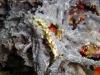 dsc 01740.jpg Nudibranche Marionia sp 6 à Bama wall, Pulau Pantar, Indonésie (photo Roland)