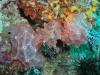 pa 020171.jpg Nudibranches Halgerda malesso/batangas à Pink beach, parc national de Komodo, Indonésie