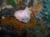 pa 020173.jpg Nudibranche Halgerda malesso à Pink beach, parc national de Komodo, Indonésie