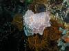 pa 020174.jpg Nudibranche Halgerda malesso à Pink beach, parc national de Komodo, Indonésie