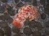 p 3250308.jpg Nudibranche Hexabranchus sanguineus à Three islets, Shark cave, îles Mergui, Birmanie