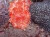 p 3260086.jpg Nudibranche Hexabranchus sanguineus à North east little Torres, îles Mergui, Birmanie