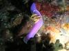 epv 0273.jpg Nudibranche Hypselodoris bullockii à Napantao, Leyte, Philippines