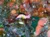 p 3010082.jpg Nudibranche Hypselodoris maculosa à Purple point, Barren island, Andaman, Inde