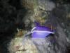 p 9080098.jpg Nudibranche Hypselodoris cf bullockii-1 à Paradise I à Mabul, Sabah, Malaisie