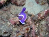 p 9140281.jpg Nudibranche Hypselodoris cf bullockii 1 au House ree du Sipadan-Mabul resort, Sabah, Malaisie