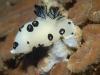 dsc 0949.jpg Nudibranche Jorunna funebris à North Emma reef, Kimbe bay, PNG