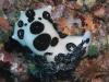 p 9120145.jpg Nudibranche Jorunna funebris à Lobster Lair, Sipadan, Sabah, Malaisie
