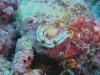 dsc04595.jpg Limace non déterminée à Manta point, Rangali, Ari Atoll, Maldives