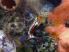 dsc 0029.jpg Nudibranche Nembrotha purpureolineata à Ali baba II, baie de Kampana, Togians, Sulawesi
