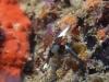 dsc 0086 jpg Nudibranche Nembrotha rutilans à Ondolean rock, Togians, Sulawesi