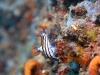 dsc 0116.jpg Nudibranche Nembrotha purpureolineata à Batu tetek II, Togians, Sulawesi