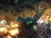dsc 0211.jpg Nudibranche Nembrotha cristata à Batu mandi, Togians, Sulawesi, Indonésie