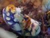 dsc 0583.jpg Nudibranche Nembrotha rutilans sur une ascidie tache d'encre Polycarpa aurata à  Aw shucks, Lembeh, Sulawesi