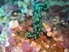 dsc 0101.jpg Nudibranche Nembrotha kubaryana à Lekuan II, Bunaken, Sulawesi