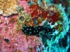 img 1906.jpg Nudibranche Nembrotha cristata à Snappers cave, Anda, Bohol, Philippines