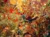 img 01909.jpg Nudibranche Nembrotha chamberlaini à Snappers cave, Anda, Bohol, Philippines