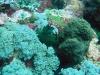 pa 040023.jpg Nudibranche Nembrotha milleri à Manta alley, parc de Komodo, Indonésie