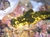 dsc 0513.jpg Nudibranche Notodoris gardineri à Killibob's knob, Father's reef, mer de Bismarck, PNG
