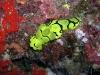 p9130219.jpg jpg Nudibranche Notodoris minor au Drop-off de Sipadan, Sabah, Malaisie