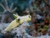 dsc 0769.jpg Nudibranche Notodoris serenae à Dondola, Togians, Sulawesi