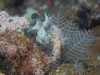 dsc 0788.jpg Nudibranche Notodoris serenae à Dondola, Togians, Sulawesi