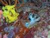 p9120150.jpg Nudibranche Notodoris serenae et sa ponte à Lobster lair, Sipadan, Sabah, Malaisie