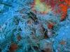 epv 0294.jpg Limace de mer Philinopsis cyanea à Paradise dive, Tulamben, Bali, Indonésie