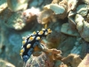 dsc 0098.jpg Nudibranche Phylllidia picta à Ondolean rock, Togians, Sulawesi