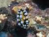 dsc 0127.jpg Nudibranche Phyllidia ocellata à Batu tetek II, Togians, Sulawesi