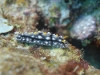 dsc 0202.jpg Nudibranche Phyllidia elegans à  Batu mandi, Togians, Sulawesi, Indonésie