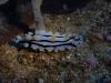 dsc 0334.jpg Nudibranche Phyllidia varicosa à Alice's mound, mer de Bismarck, PNG