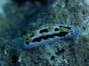 dsc 348.jpg Nudibranche Phyllidia coelestis à Alice's mound, mer de Bismarck, PNG