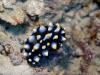 dsc 0877.jpg Nudibranche Phyllidia carlsonhoffi à Vanesssa, Kimbe bay, PNG
