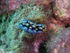 dsc 0401.jpg Nudibranche Phyllidia picta à Paradise, nord Sulawesi