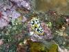 epv 0140.jpg Nudibranche Phyllidia coelestis à Paradise dive, Tulamben, Bali, Indonésie