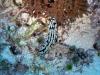 epv 0621.jpg Nudibranche Phyllidia varicosa (à une seule corne !) à Shark Airport, Tubbataha, Philippines