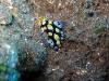 img 0140.jpg Nudibranche Phyllidia picta à Tanjung pasir, Ruang island, Sulawesi, Indonésie