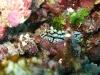 img 0171.jpg Nudibranche Phyllidia elegans à Sachiko, Bunaken island, Indonésie