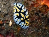 img 2869.jpg Nudibranche Phyllidia marindica à The Bomies, Barren island, Andaman, Inde