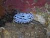 p 3290349.jpg Nudibranche Phylidia varicosa à Western rocky, îles Mergui, Birmanie