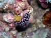 p 9300036.jpg Nudibranche Phyllidia pustulosa à Satonda island, Indonésie