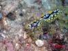 pb 260200.jpg Nudibranche Phyllidia ocellata à Cabuan, île de Mantigui, Philippines