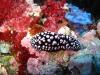 img 0066.jpg Nudibranche Phyllidiellia nigra à No name site, Para island, Sulawesi