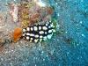 img 0141.jpg Nudibranche Phyllidia tula à Tanjung pasir, Ruang island, Nord Sulawesi