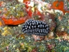 img 2830.jpg Nudibranche Phyllidiella pustulosa à The wall, Barren island, Andaman, Inde